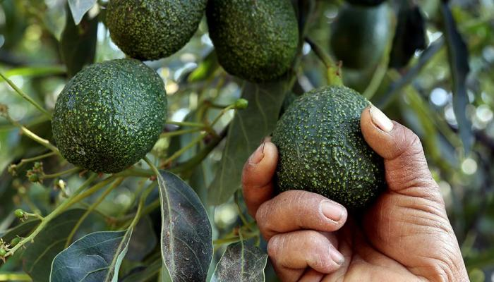 78-142106-avocado-theft-huge-revenues-south-africa_700x400